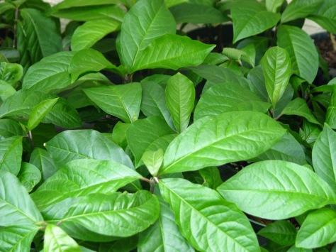 Guinea-Hen-Weed